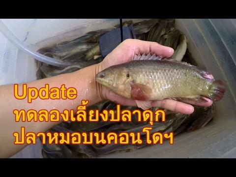 มา Update การเลี้ยงปลาดุกกับปลาหมอบนคอนโดฯ ให้ดูกันครับ