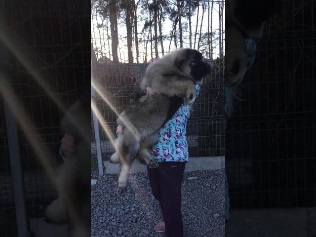Caucasian Shepherd Dog  Female #6 for sale (4 months) video1