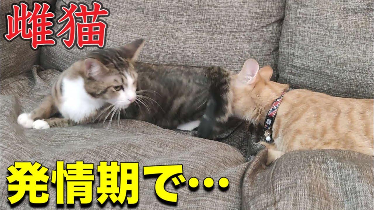 発情 鳴き声 猫 期