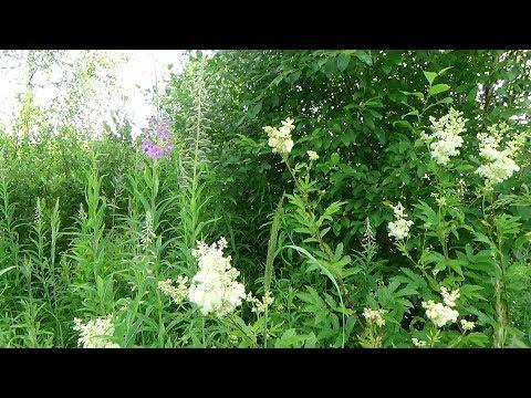 Вопрос: Почему иван-чай не выращивают в огородах?