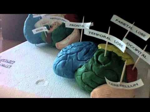 The human brain Biology model project