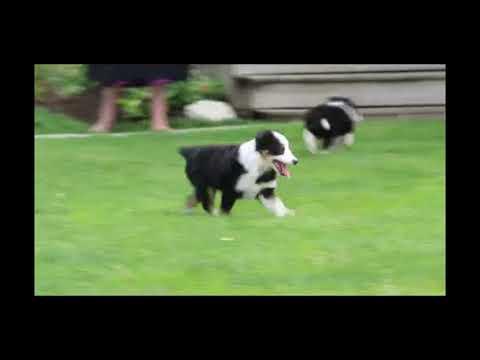 Shetland Sheepdog Puppies For Sale Jonas Glick