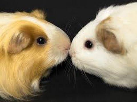 Guinea pig sexual habits
