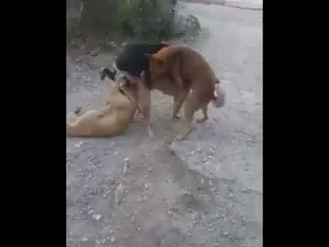 Gangbang dog Three bitchy