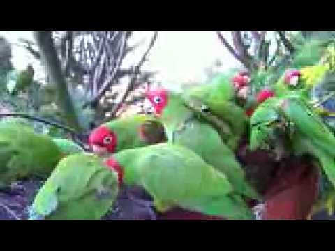 Telegraph Hill Parrots January 30, 2008 (HD)