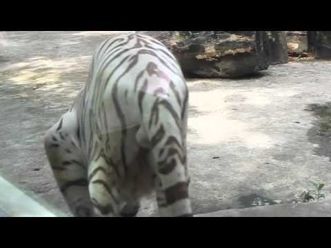 White Tiger - Saigon Zoo and Botanical Gardens Ho Chi Minh City HCMC Vietnam