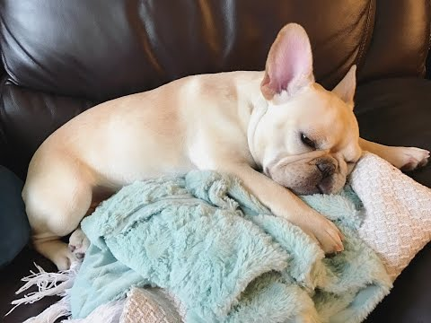 Nala's Favorites! Shopping Tips for your French Bulldog!