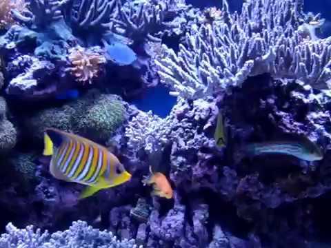 Angelfish In 180 Gallon Reef Tank