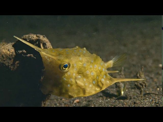 Take a Minute XIV: Longhorn cowfish (Lactoria cornuta)
