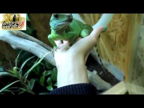 Chinese water dragon handfeeding and handling