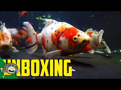 GOLDFISH UNBOXING - IMPORT ORDER AFTER MIDNIGHT!