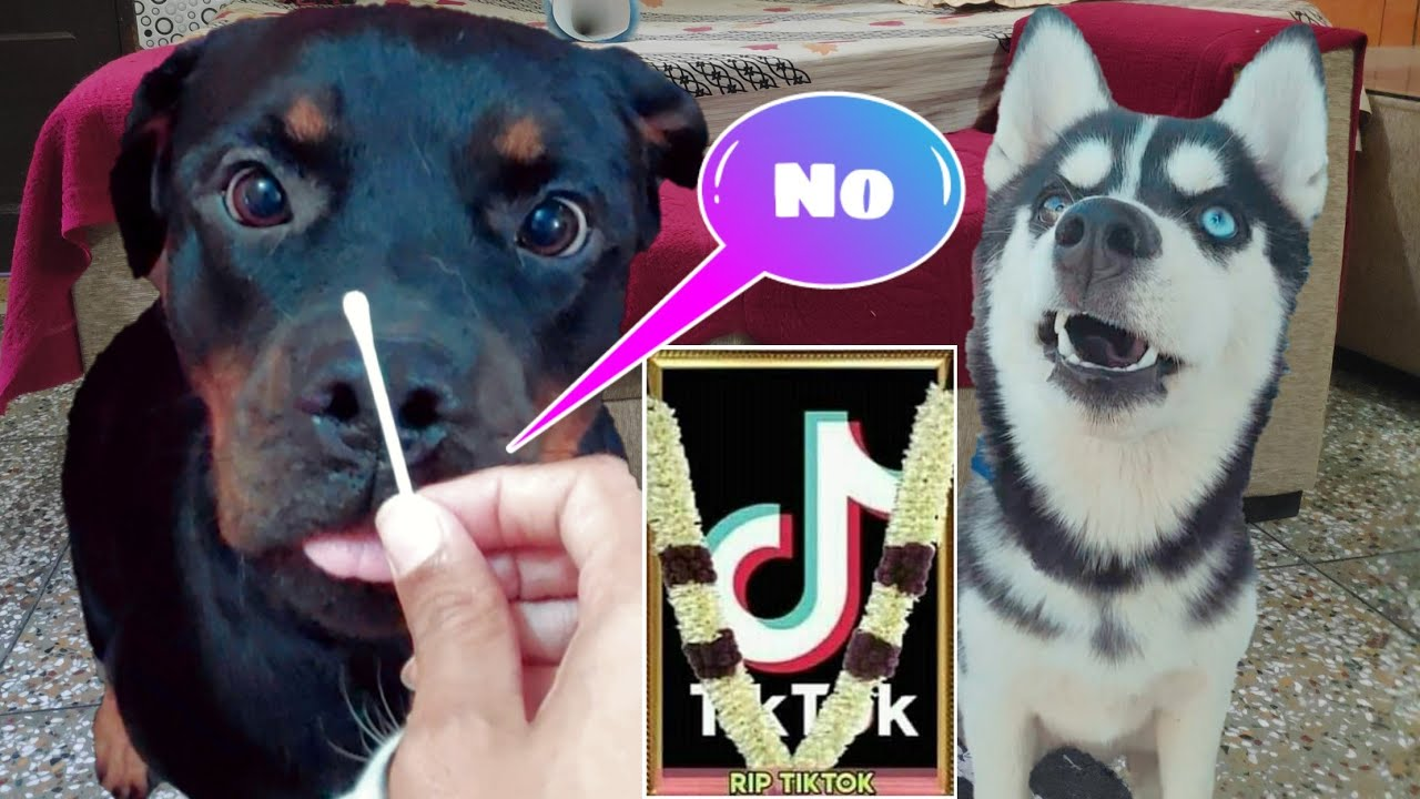 Cheeni Troll Roxy For Tiktok Ban || Rottweiler Vs Husky Dog can talk part 41 | Roxy. Review reloaded