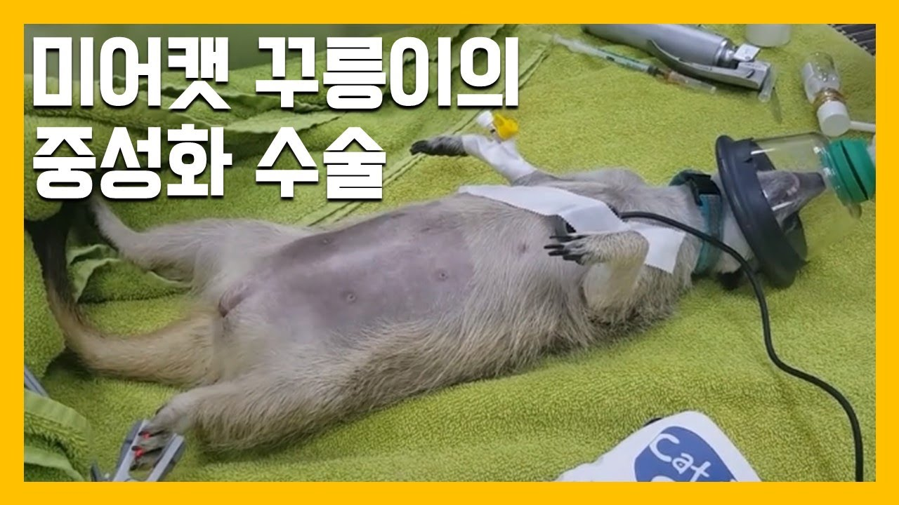 미어캣 꾸릉이의 중성화 수술 [냥이아빠]