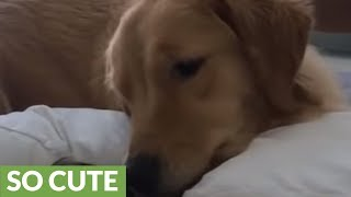 Golden Retriever preciously watches over baby best friend