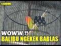 Woww Balibu Ngekek Bablas  Mp3 - Mp4 Download