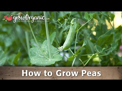 Growing Organic Peas in Your Garden