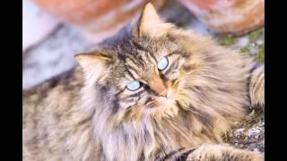 Домашняя длинношерстная кошка (Domestic long-haired cat) породы кошек( Slide show)!