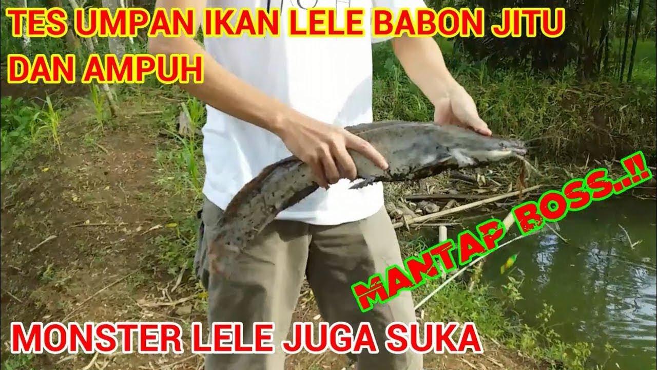 Umpan Ikan Lele Babon Paling Jitu Tes Umpan Youtube