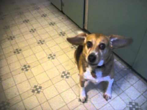 Singing and Dancing Beagle