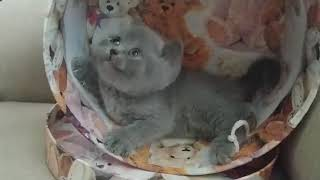 British Shorthair. Does this box fit me? Cattery Calmcat