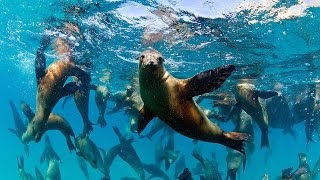 Tourists Swim With Huge Group Of Playful Sea Lions