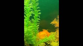 Любовные игры у рыб