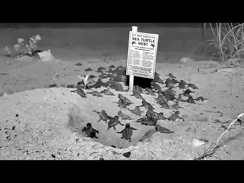 Florida Keys Webcam Captures Sea Turtle Hatch