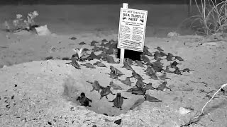 Florida Keys Webcam Captures Sea Turtle Hatch