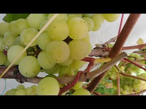 Виноград в московской области дозреет?