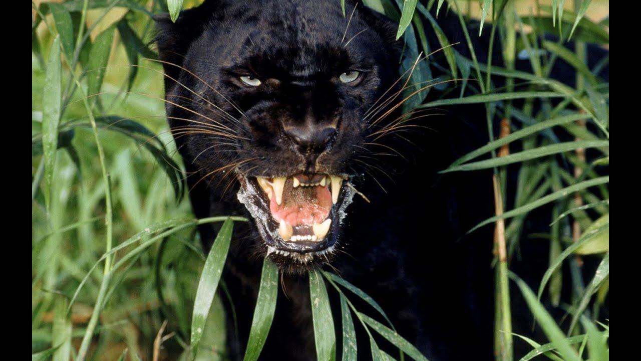 Black panther c...