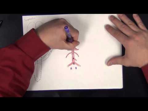 Gross Anatomy - Autonomic Nervous System - Sympathetic And Parasympathetic Pathways Of The Body