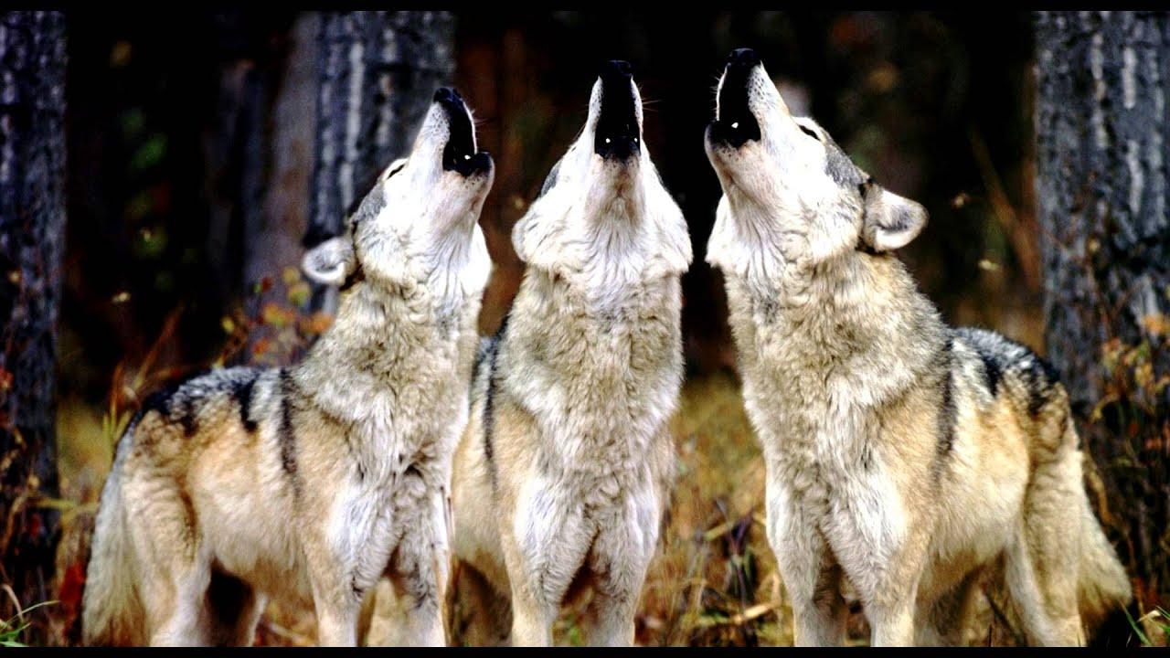 Lobo Aúllando: ¿Los Lobos Le Aúllan A La Luna?