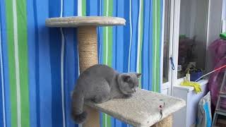 Британский котенок - девочка в Екатеринбурге