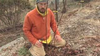 how to prune a young blueberry thumbnail