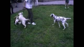 щенок  лабрадора  маленький Маркушка