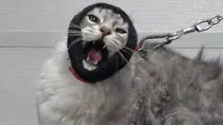 Angry cat wants to demolish his groomer