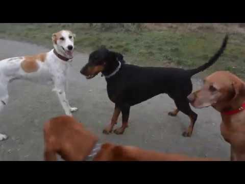 Doberman playing with Greyhound/Saluki cross dog