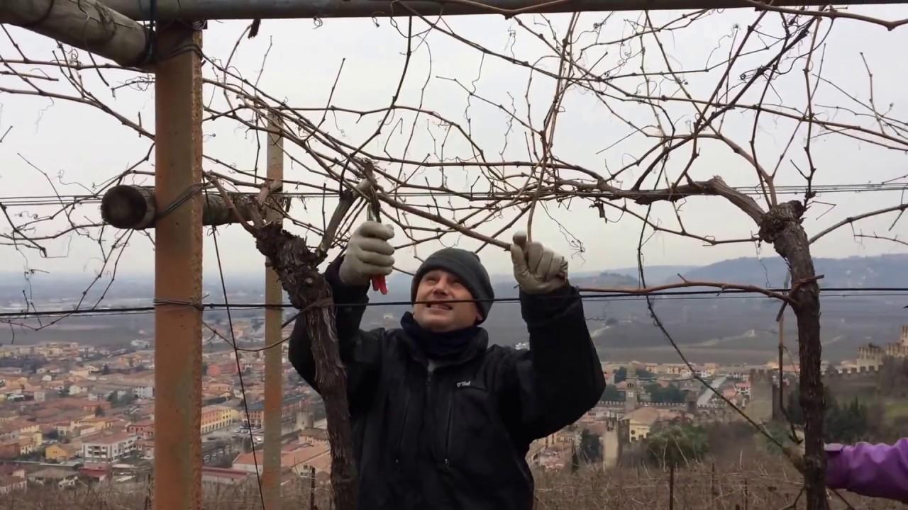 Potatura delle viti a pergola a soave youtube - Potatura uva da tavola ...