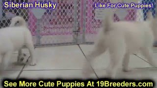 Siberian Husky, Puppies, For, Sale, In, Green Bay, Wisconsin, Wi, Eau Claire, Waukesha, Appleton, Ra