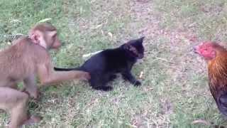 Обезьянка кошка  и курица ! смешно /  Funny animals  Koh Samui Thailand