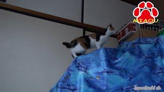 先日他界した子猫トラを探すように部屋をウロウロするミケ。2014 10 31 ...
