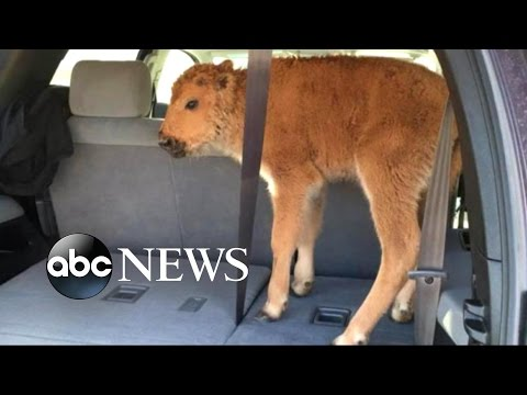 Baby Bison Put Down after Yellowstone Visitors Load Calf Into Car