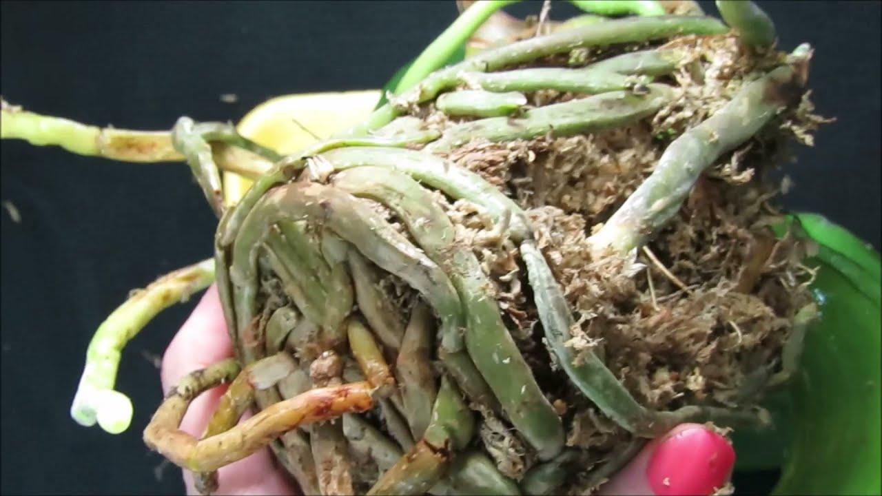 Como cambiar el sustrato de mi Orquidea  cuando es mejor momento maceta mas grande raices secas #322