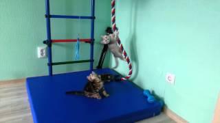 Котята Скоттиш-страйты,  играют с канатом )