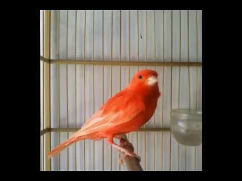 Download Lagu Suara Burung Kenari Merah Mantab Banget