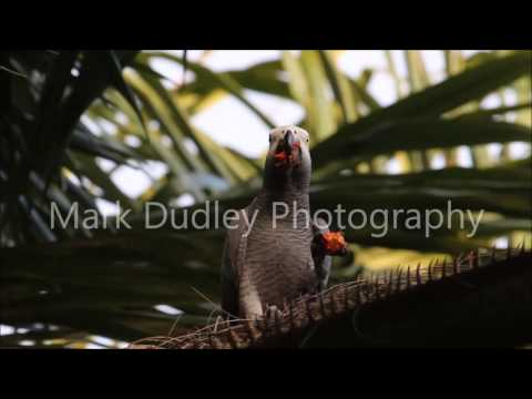 African Grey Parrot in the Wild