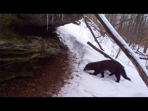 Fisher Hunting / Trailing A Porcupine In Forest
