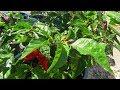 Purple Ghost - Purple Bhut Jolokia - Hot Pepper