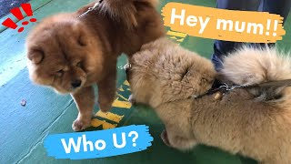 This is how my dog reacted to her mum after 5 months   Chow Chow dog show in Melbourne