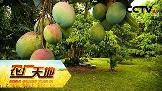 《农广天地》 20190509 摘花三三制 芒果产量高| CCTV农业